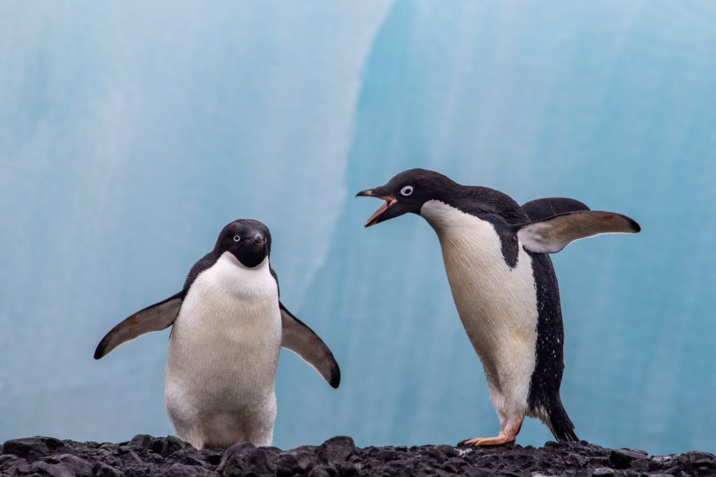 Adelie penguins in front of a grounded iceberg at Brown Bluff #EarthCapture <br>http://pic.twitter.com/drQGhFCOCP