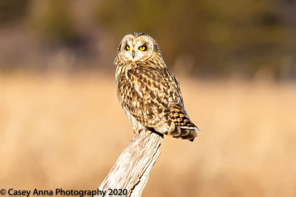 """The Golden """"Owl""""ur. Had a fun time with my friends photographing this short-eared owl today! #owls #owl #shortearedowl #naturelovers #NaturePhotography #photographer #photographers #photo #TeamCanon @CanonUSAimaging @CanonUSA @CanonUSApro @NatGeo @NatGeoPhotos @GettyImagespic.twitter.com/zEP1u5Np2A"""