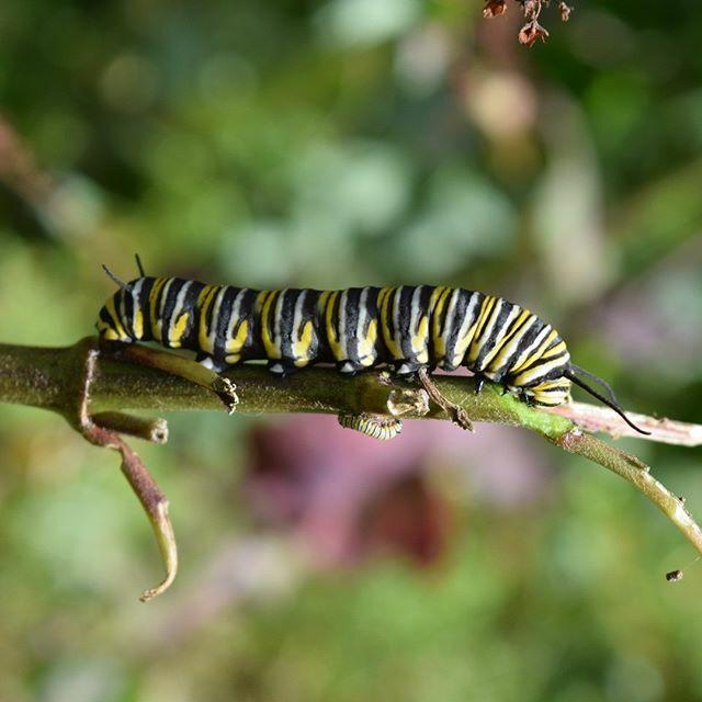 #Insecto #Insect #Gusano #Worm #Plaga #Animal #Animals #Amarillo #Yellow #Negro #Black #Macro #Macrophotography #Silvestre #Wildlife #Wildlifephotography #Naturaleza #Nature #Naturephotography #Zitácuaro #Zitacuaro #Michoacán #Michoacan #México #Mexico https://ift.tt/2Tz491ppic.twitter.com/fGo1wgWA7G