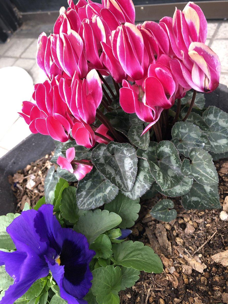 今年もキレイに咲いてます✨ お花は和みますね。  福岡スタッフ:TOMO