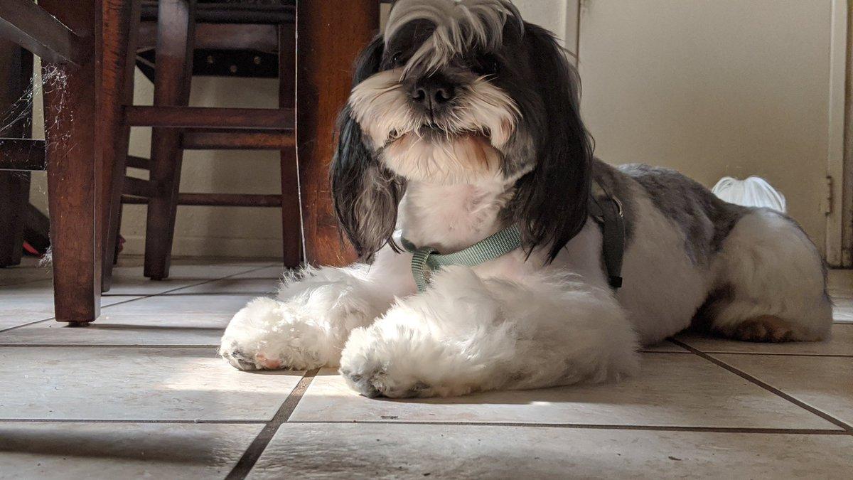 I never really post my own stuffs here's... Braxton!  #shihtzu #puppylove #Smile  #dogsoftwitter  #dogsforberniepic.twitter.com/tvRkFa3kZ6