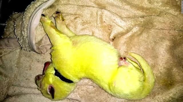 【健康問題なし】白色の母犬が「緑色」の子犬を出産 「ハルク」と命名 米この現象は時々起きるとのこと。緑色は暫定的なもので、ハルクの体はいずれ白色になるとみられている。