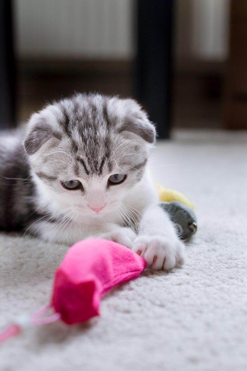 飼い主忙しいみたいだから小さい時のわしな!  #猫 #猫写真 #子猫時代pic.twitter.com/tAvuMmqfvH