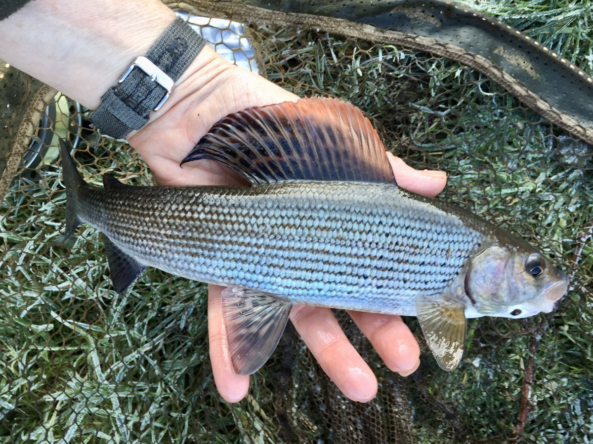 Is there a more handsome fish than a grayling? pic.twitter.com/N4xO3p3crC