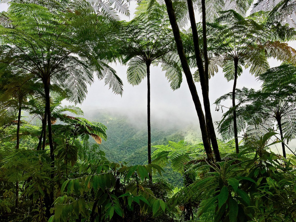 In Baracoa (Eastern Cuba), beautiful tree ferns in a tropical rainforest environment can be found in several protected areas... Find out more about such areas in our blog, A Taste of Baracoa. villaparadisobaracoa.com/en/blog/ #Baracoa #Cuba #Adventure #SustainableTourism #Hiking #Forest