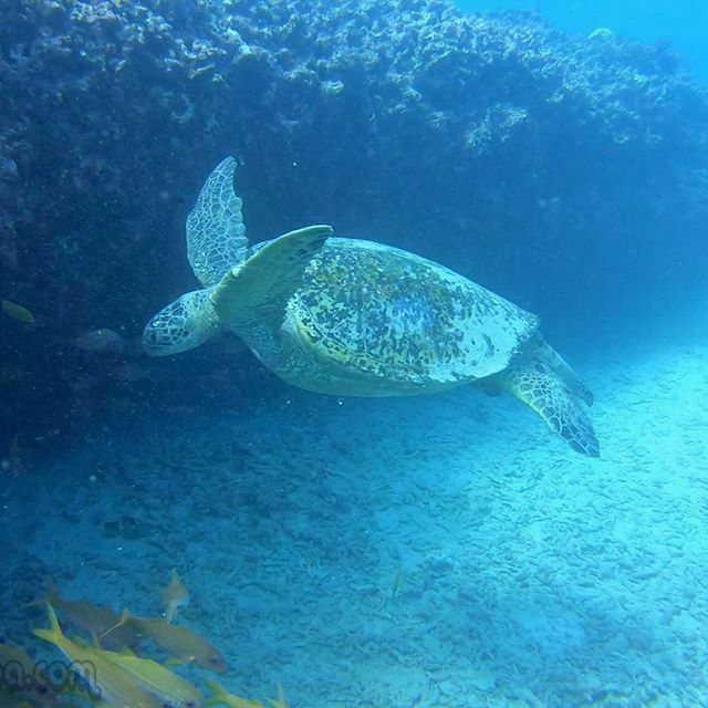 RainbowScuba: KGoetz2005 : Turtle Weekend! #Hawaii #scuba #Gopro #diving with #turtle #weekendturtle #divingday #seaturtle #flyingturtle #divingweekend #turtletour #greenseaturtle #divingisgreat #divingtour #greatdivingday hawaiiscubadiving …pic.twitter.com/4IOhfzVkfU