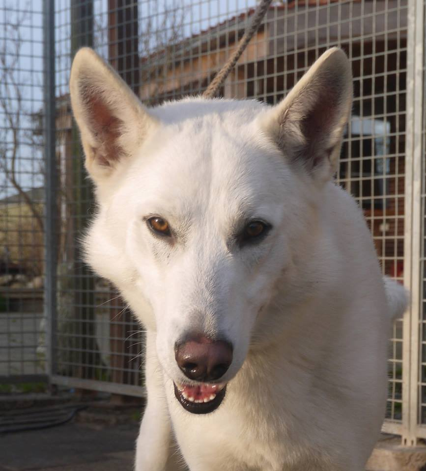 Welcome Estevão, a White Swiss Shepherd stud as a new Outcross! He's also dual registered with the Netherlands Tamaskan Club! #TDR #TamaskanDogRegister #TamaskanDog #Tamaskan #Dog #TamaskansOfTwitter #DogsOfTwitter #TamaskanOutcross #Outcross #StudDog #Stud #WhiteSwissShepherd