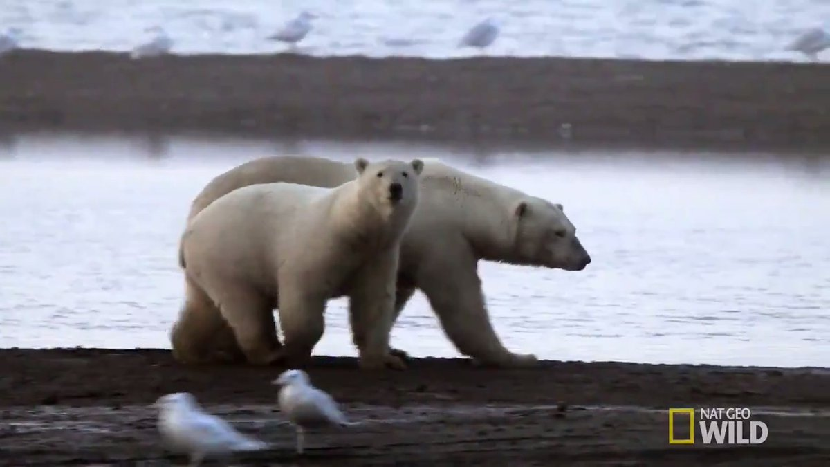 As summer melts the ice, polar bears dive for food in a unique way rarely seen called porpoising