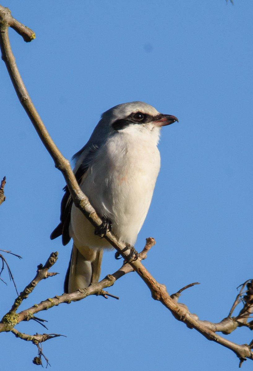 RT @KevArmstrongs: Brogborough Great Grey Shrike today - what a beauty! @bedsbirdsnews @_BTO @Natures_Voice @RareBirdAlertUK @RSPBbirders @Birds_UK @wildlife_uk @BBCSpringwatch @BirdGuides @BirdWatchingMag