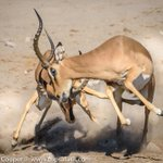 Image for the Tweet beginning: Two impala rams captured in