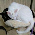 Image for the Tweet beginning: 本日13時~『マダムひな子』です🔮 本日→通常在室   恒継先生も在室  🌸20月→通常在室 🌸21火→ご予約のみ 🌸22水→通常在室  ご予約は 待ち時間のご心配ありません☺️  時間確認など お問合→09019122290📲 お気軽に  #黒猫 #blackcat #白猫 #whitecat もう無理やろう❗ 結構せまいで💦💦
