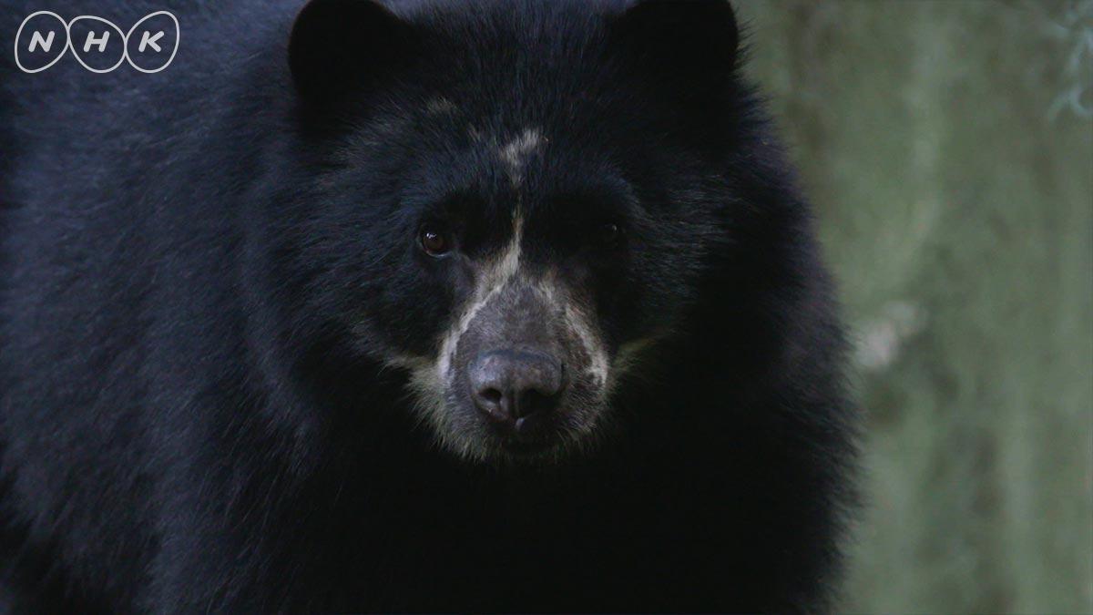 / みなさ~ん! 総合・今夜7時30分~ 「南米の獣人!?幻のクマに遭遇」 \ アンデスの奥地に暮らすため姿を見ることさえ難しい、南米唯一のクマ  その謎に包まれた姿に、地元研究者と共に断崖絶壁の谷で挑みます!  予… https://t.co/i7KAdbWK9R