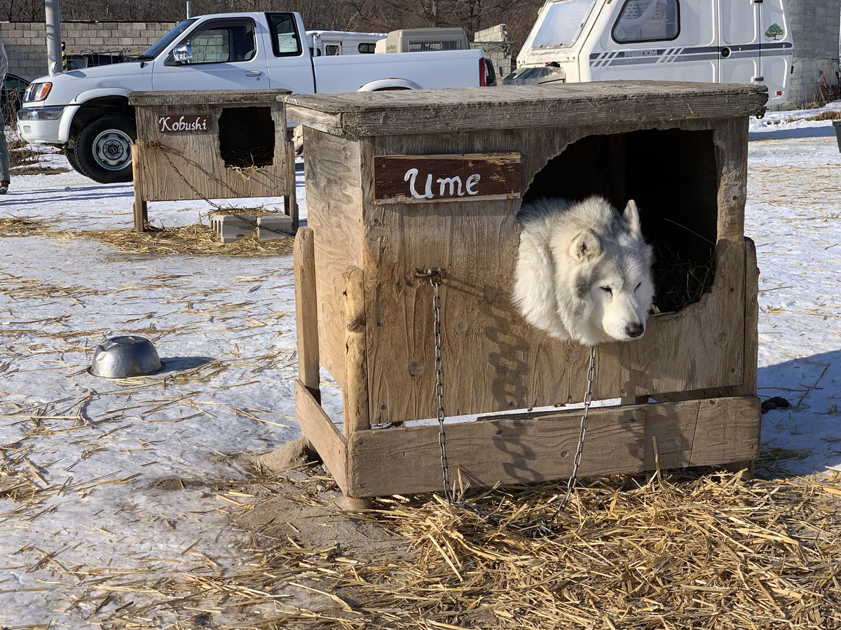画像は今日の犬ぞり牽引メンバーに入ってないと悟りテンションが下がる犬です