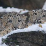 Image for the Tweet beginning: Los felinos más amenazados del