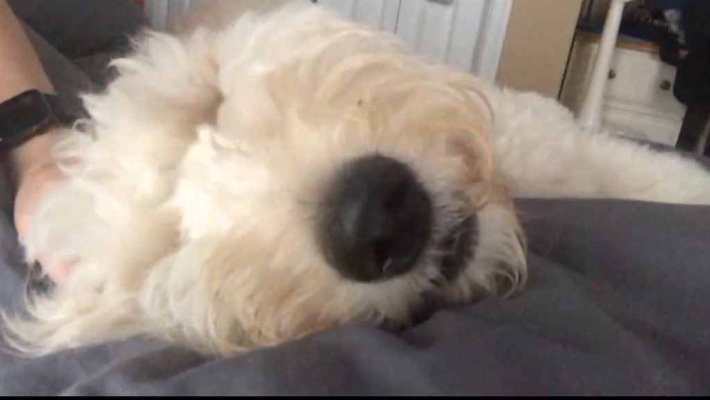 """@Animalolizer #petsunday  #Pets  #GoldenDoodles @SupportDogsUS #LOVEYOUARMY  """"Only The Nose Knows"""""""