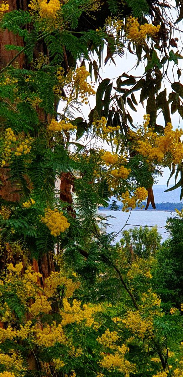 Les mimosas, la méditerranée et les îles un dimanche dans la colline de la Californie #Cannes #CotedAzurFrance @VisitCotedazur @villecannes @_FrenchRiviera @ProCotedazur @CannesIsYours @Magnifique_FR @myphotozine @lesnotesdorees @bp_photo_06 @jmlpyt @laujeanp @myroques @mbla06pic.twitter.com/xhW2YzBzjQ
