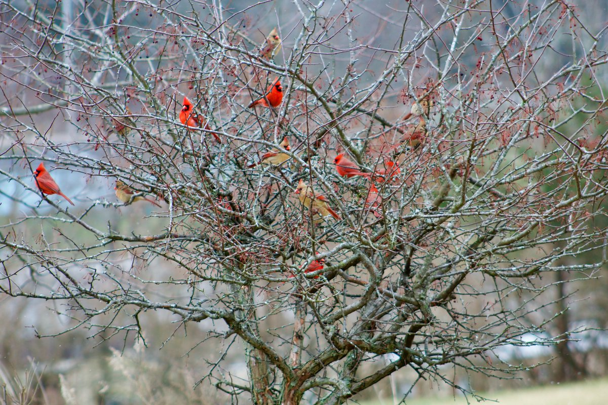 It was snowing a bit and the Cardinal's really come out!! How many do you see?? #northerncardinal #kentuckystatebird<br>http://pic.twitter.com/aSxPmA0Uvo