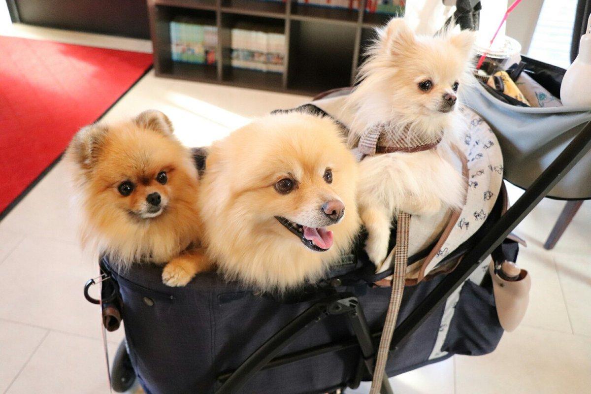 日曜日の #シュナカフェ  メチャクチャ混んでいた#ポメラニアン #Pomeranian #ドックカフェpic.twitter.com/pJgsyhYZTc