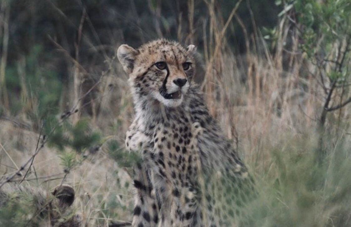 """Cheetah cubs are some of the cutest #BabyAnimals on our wildlife programs, and rightfully so. These fluff balls really stir up cute-emotions, and muster plenty of """"awws"""" from inside the safari vehicle during research drives.pic.twitter.com/xHGWrmVnu7"""