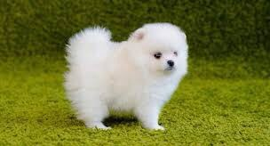 Noooo.  Bitches breed.  You are just a baby.  What do we do if someone we don't want does that to me or you?   Be glad I taught you to jump 6 feet high.   Pomeranian. pic.twitter.com/rctSgM9gXL