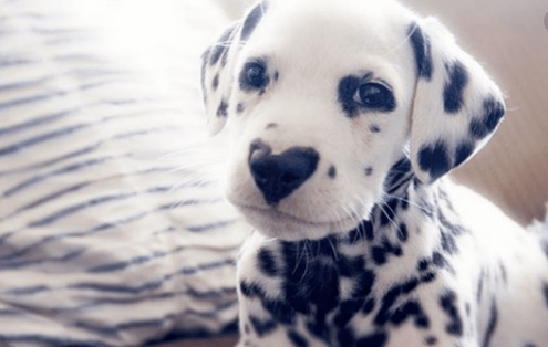 Today's Adorable Puppy is a Lexi Smith's #Dalmation with a perfect heart-shaped nose! When she adopted the puppy in 2018, she probably never guessed he would have such a huge fan base on Facebook. But the pup's unique feature is just too cute to ignore. <br>http://pic.twitter.com/WnPS85MObB