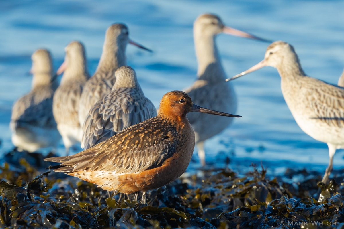 """Bar-tailed Godwit - """"Old Red"""" Rather stands out from his friends during the winter At least 50 present. Sandbanks, Poole Harbour, Dorset @harbourbirds<br>http://pic.twitter.com/jNC0H0P26A"""