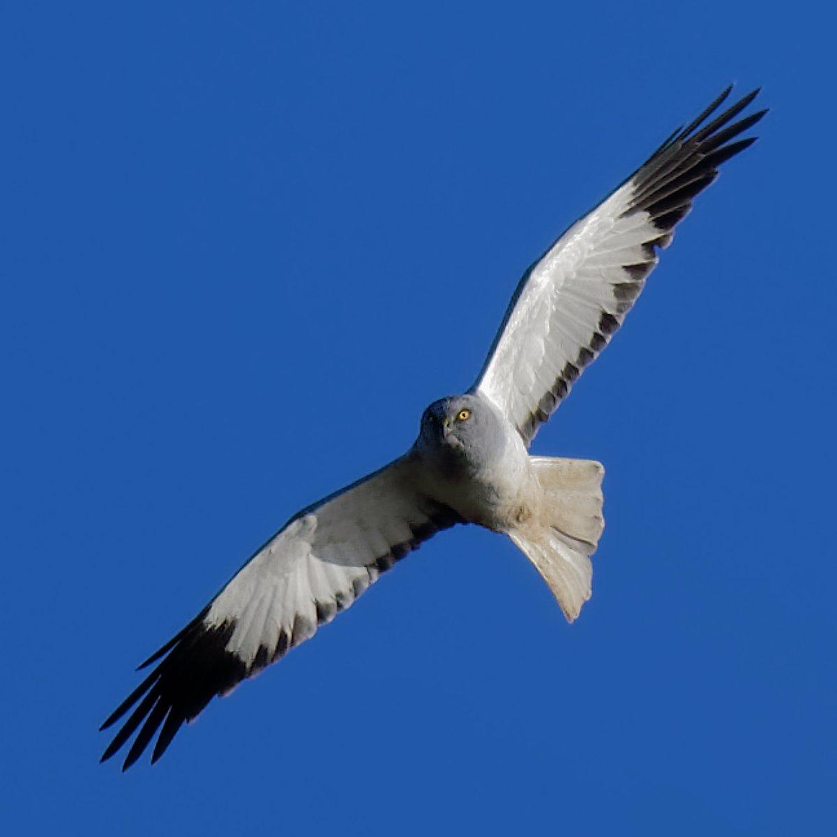 Male Hen Harrier this weekend #isleofman @RSPB_Skydancer<br>http://pic.twitter.com/kdoIiydlDg