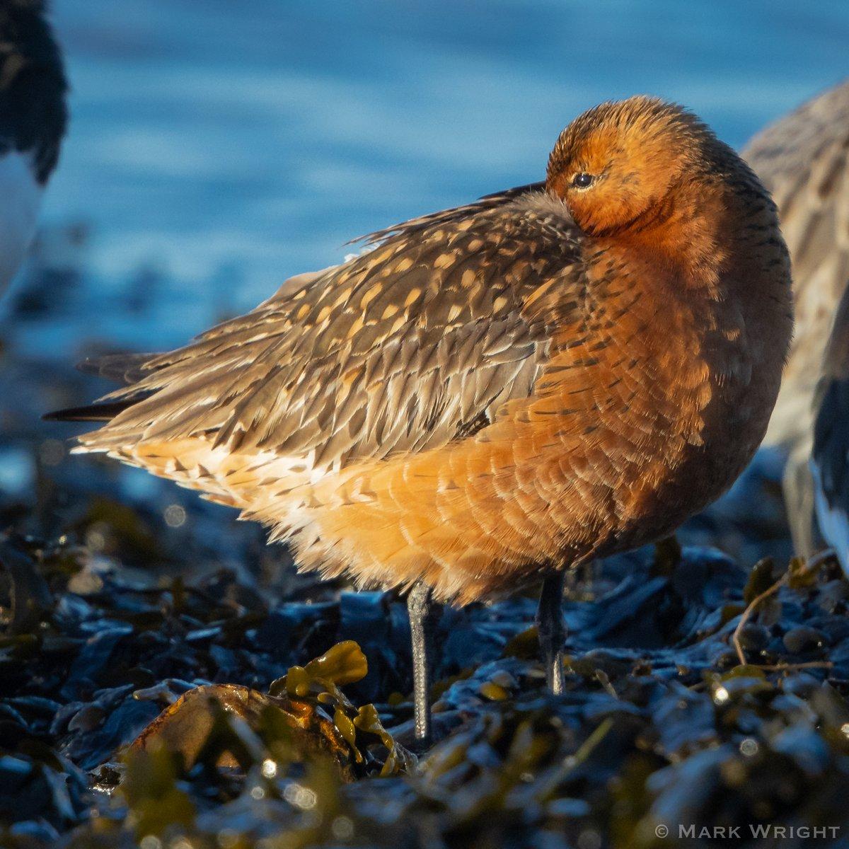 """Old Red"" (Bar-tailed Godwit) and an Oystercatcher Sandbanks, Poole Harbour, Dorset @harbourbirds @DorsetWildlife<br>http://pic.twitter.com/38sDzMJFws"