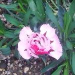 Image for the Tweet beginning: こんにちは♪samuzairuです😄 我が家の花壇に一輪のピンクの 撫子の花が咲きました😅 毎年3月頃に咲く花だけど今年は 暖冬の影響で狂い咲きかなぁ(^_-)-☆ ピンクの撫子の花言葉は*純粋の愛です👍 ⁂愛をこめて育てて行きたいです(*^^*)💖