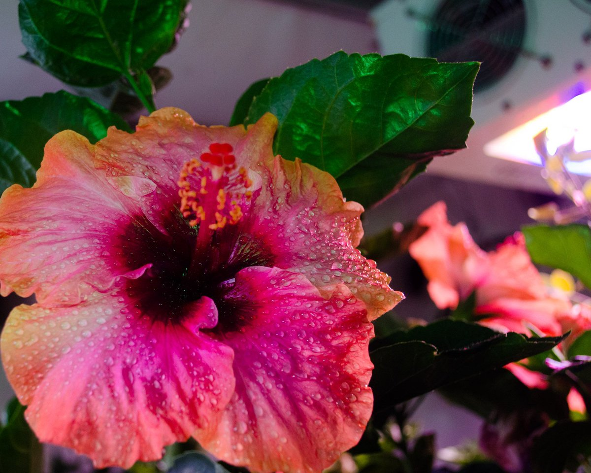 Get your garden growing greatness! Find out how we can turn your growing passions into a budding reality! 720-420-1209 | http://blackdogled.com  ________________________________________ #blackdogled #gardening #indoorgardening #flowerpower #hibiscus #gardenlove #growerslovepic.twitter.com/Ccgdn14eKM