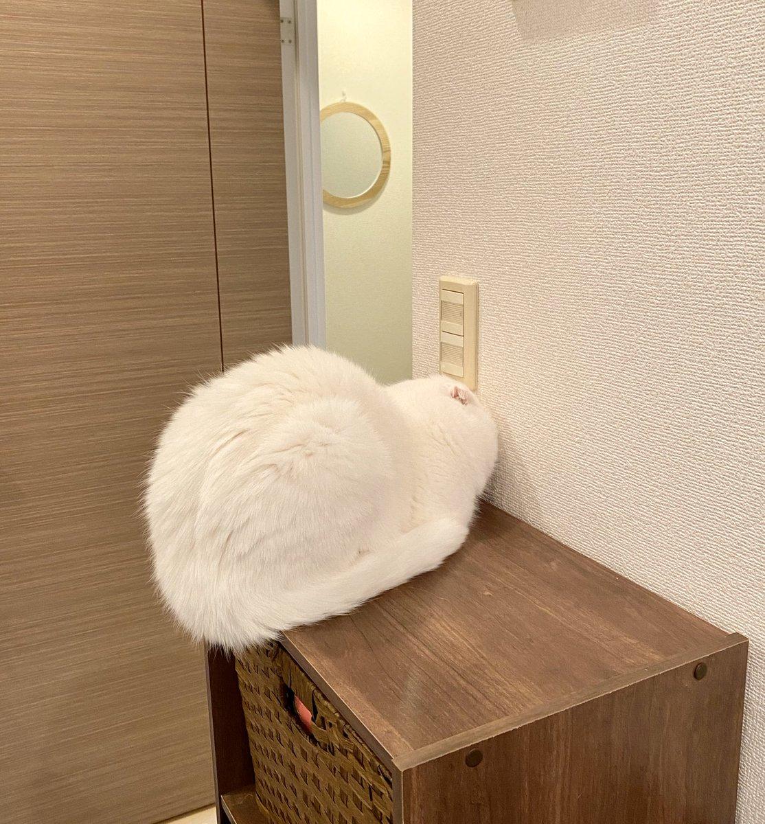 壁にめり込んだまま寝てる…#大癖猫