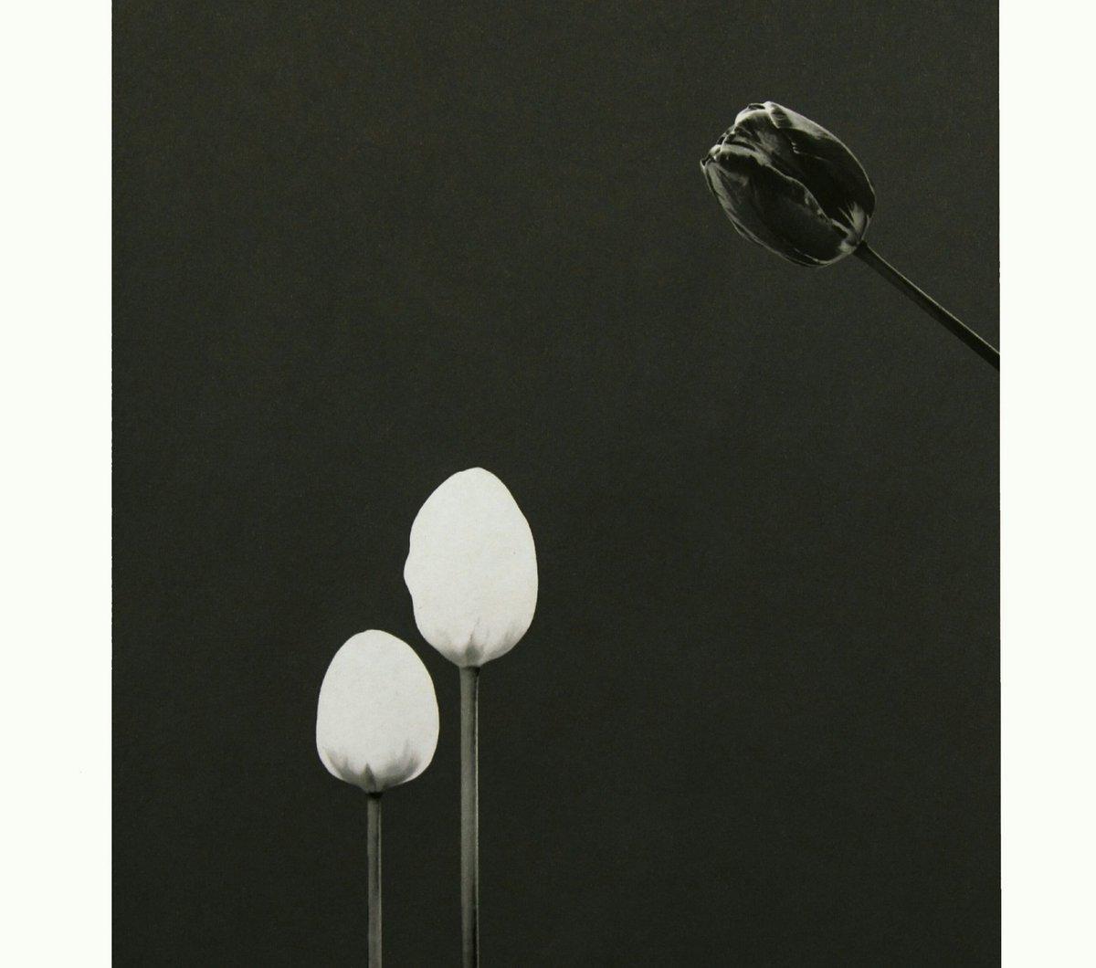 """PURE DILEMMA"" M.Rozenfield   Price: 300.393.00$ (Limited of 3)  #puredilemma #photooftheday #artworld #artoftheday #artgallery #artcollector #art #fineartprint #finearts #fineartflowers #fineartphotography #blackandwhitephotography #blossom #blackandwhite #tulip #thx everyone!)"