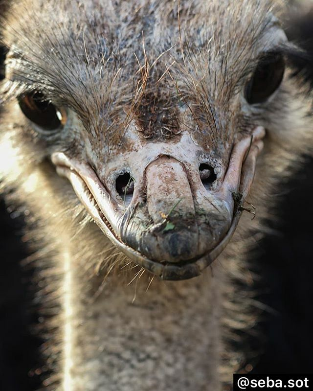 ¡#FelizSemana amigos!  Smile. . . . . #avestruz #ostrich #CanonEspaña #liveforthestory #wildlife #nature #naturelovers #natgeowild #animalsaddict #earthfocus #natureaddict #wildlifeplanet #ig_nature #igtravel #wildlife_perfection #wildlife_seekers #featu… https://ift.tt/2RaBnCA pic.twitter.com/DPcDdar7Id