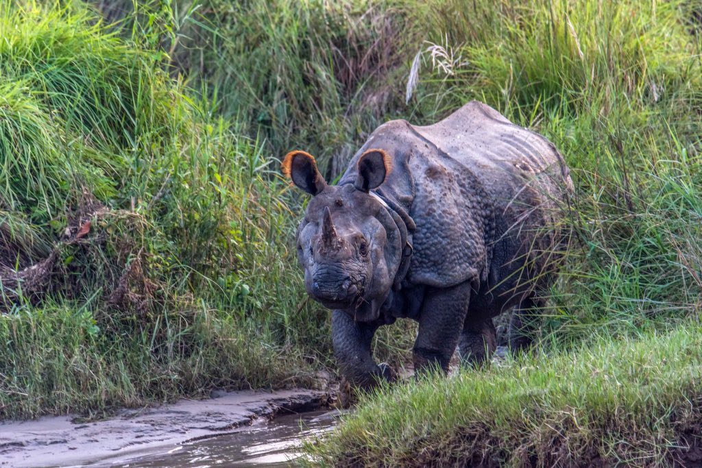 #OnehornedRhinoceros a very iconic animal in the world which is only found in Nepal so it could be a very wonderful opportunity to see the One-horned Rhinos experiencing the #junglesafari in #ChitwanNationalPark of #Nepal    #wildlifephotography #nepal #visitnepal2020 #travel