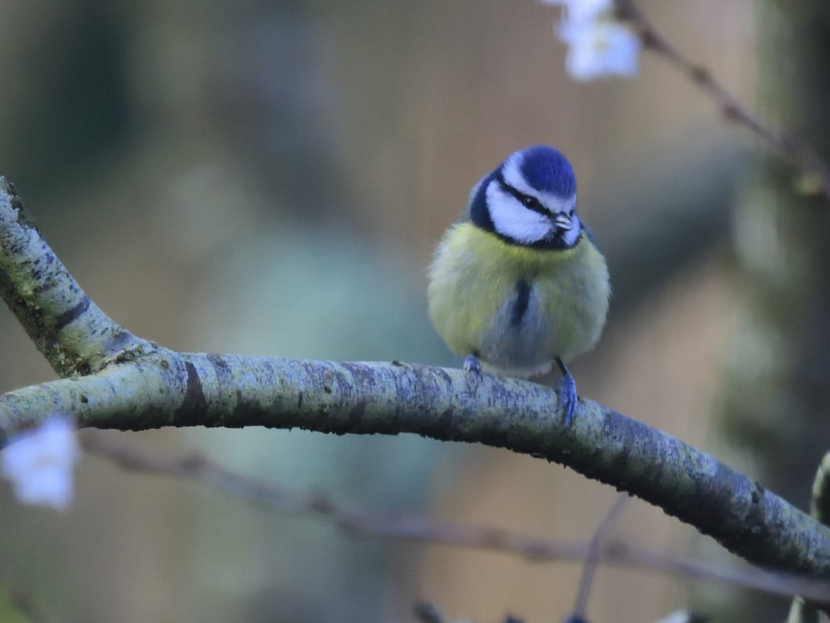 Chilly visitor to the garden - fluffed up #Bluetit @Natures_Voice<br>http://pic.twitter.com/zf8vuOPKvT