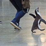 【完全に一致】定時に退社できた時のサラリーマンをペンギンで表現するとこうなる