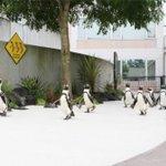 Image for the Tweet beginning: 横浜・八景島シーパラダイス×コウペンちゃん、ケープペンギンのコラボパレードなど -