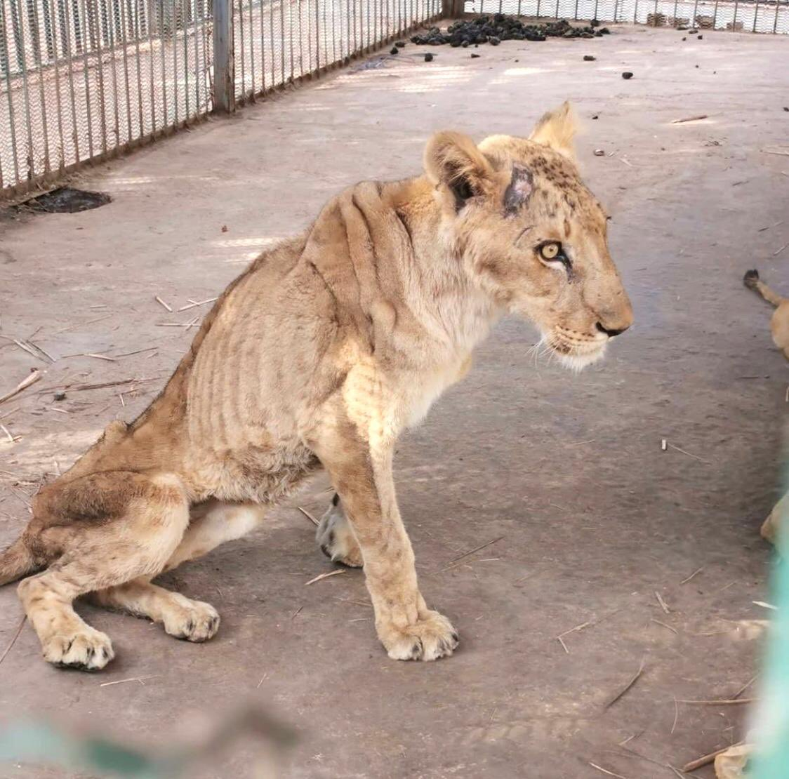 Thank you #0smano for notifying the authorities about the horrific state of 3 #lions at #AlQurashiGarden in #Sudan. The lions are skin & bones, one has already died due to starvation & neglect.💔The incredible @fourpawsint is sending emergency rescue to help save them. 🙏❤️🙌