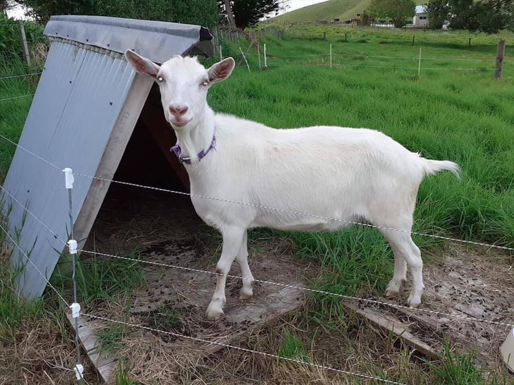 Stolen New Zealand therapy goat reunited with best friend, a depressed cow nationalpost.com/news/world/sto…