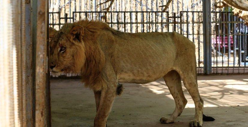 ⬜️スーダン:痩せこけた栄養失調のライオンを助けて ネットで呼び掛け 「公園でライオンたちを見たときは震えた。皮膚から骨が浮き出ているんだ」とライオン救済運動 を始めたオスマン・サレハさんはS… https://t.co/iIiSRqlOKC