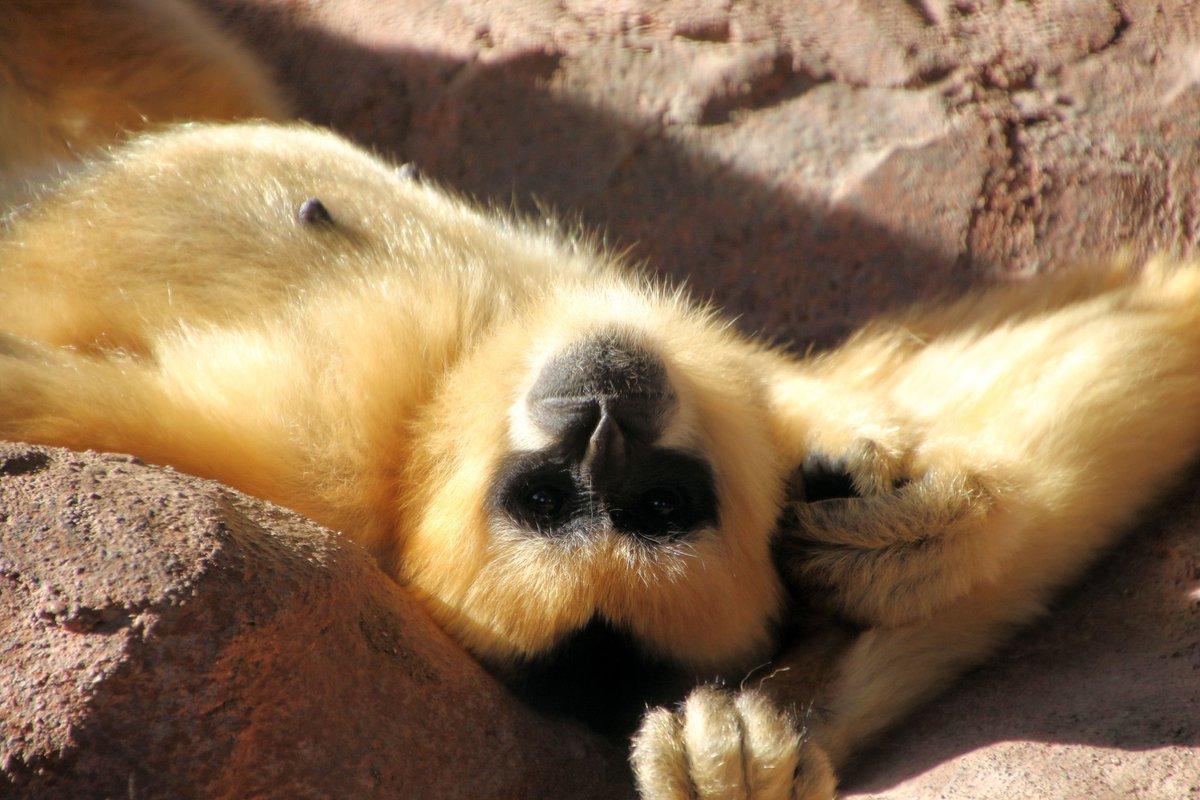 Anyone else having a lazy Monday? #gibbon #whitecheekedgibbon #primate #primatesofinstagram #awsfzoo #NewBraunfels #Texas #SanAntonio #Austin #photography #PhotoOfTheDay #wildlife #CuteAnimalspic.twitter.com/n1tklorkld