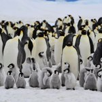 Image for the Tweet beginning: Counting Antarctic penguins with #AI:
