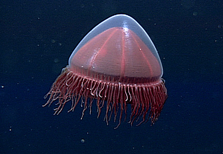 Little red jellies are common near the deep seafloor in Monterey Bay and around the world, yet little was known about them. In a new study, scientists are finding new information about their evolution and relationships to one another: https://www.mbari.org/little-red-jellies/… @george_mage