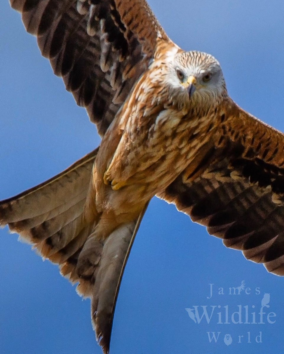When a Red Kite almost landed on my head   #RedKite #EarthCapture #BBCWIldlifePOTD @BBCEarth @WildlifeMag<br>http://pic.twitter.com/dnEgKB3fbz