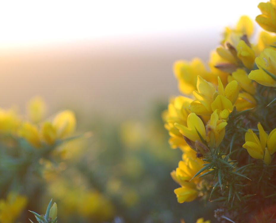 "Gorse (Ulex europaeus) is a tough, spiny shrub that - no matter what time of year - always seems to be flowering. This is lucky really because folklore tells us only to kiss our loved ones when the gorse is in flower.  ""Sorry I can't, no gorse flowers""  ""...again...really?"" pic.twitter.com/OpHSASf6c5"