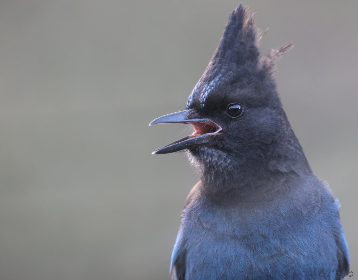 """""""Hear ye! Hear ye!""""  And that's all the Steller's I speak, so I never know what the actual announcement is. #becurious #BeKind<br>http://pic.twitter.com/NjBZaButVv"""