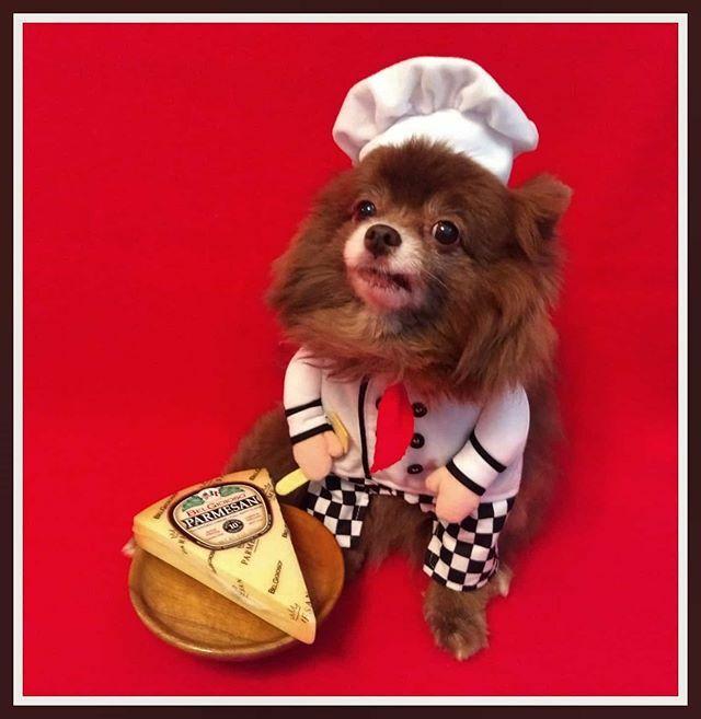 No! No! No!  I said Gorgonzola!  Happy National Cheese  Day! . . . #dolcevitapomeranian #pomstagram #chocolatepom  #chocolatepomeranian #dogmodel #chocolatedog #pomsofinstagram #pomeraniansofinstagram #palms #pomeranianworld #coolangel369 #pomerania… https://ift.tt/2tE1I2Opic.twitter.com/Yvb9OvXLjH