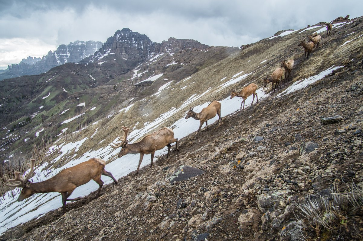 Yellowstone case studies reveal what it takes to conserve #elk #pronghorn & #muledeer migration corridors:  https:// esajournals.onlinelibrary.wiley.com/doi/10.1002/fe e.2145  …   Key elements: -Better migration maps -Federal & state agency coordination -Incentives/support for landowners -Local conservation participation<br>http://pic.twitter.com/gpEDow3HRY