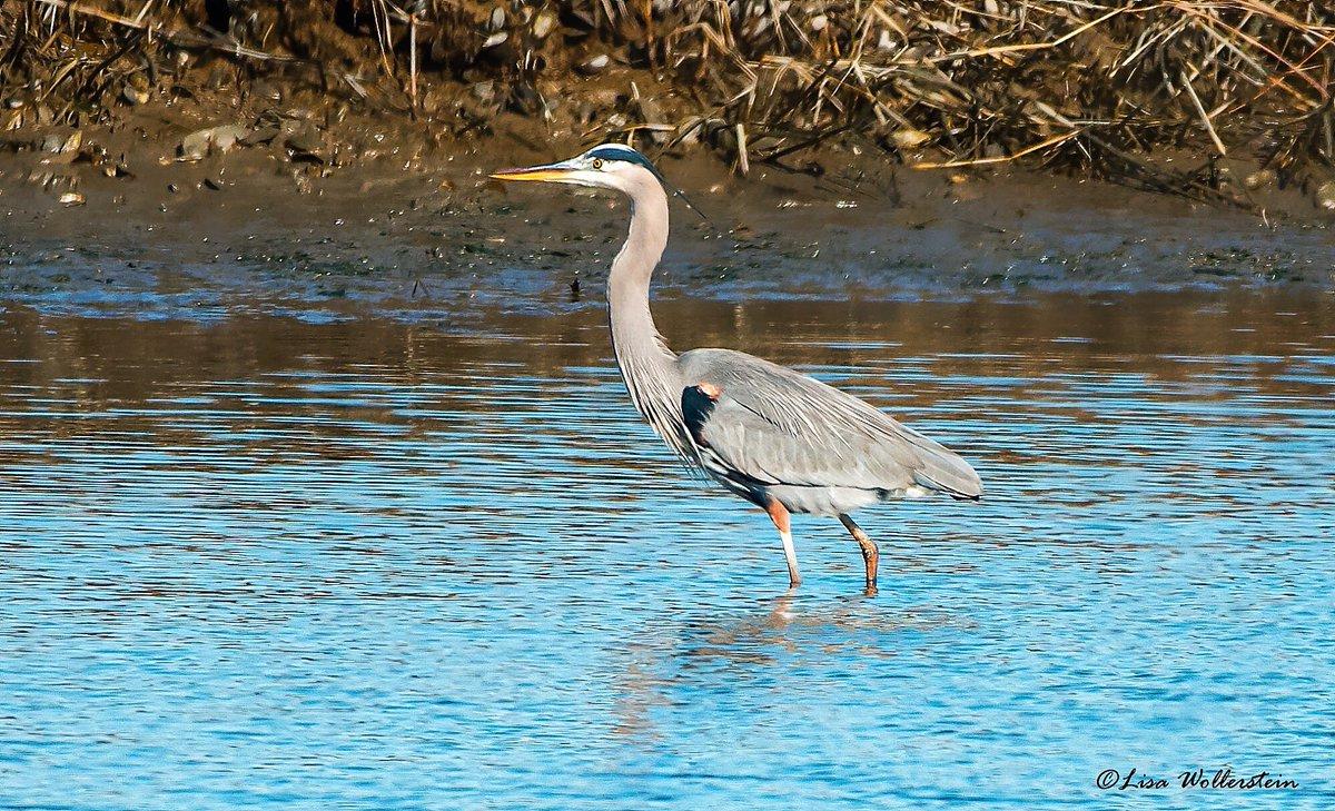 Gone fishing 🎣 Great Blue Heron Kings Park, NY