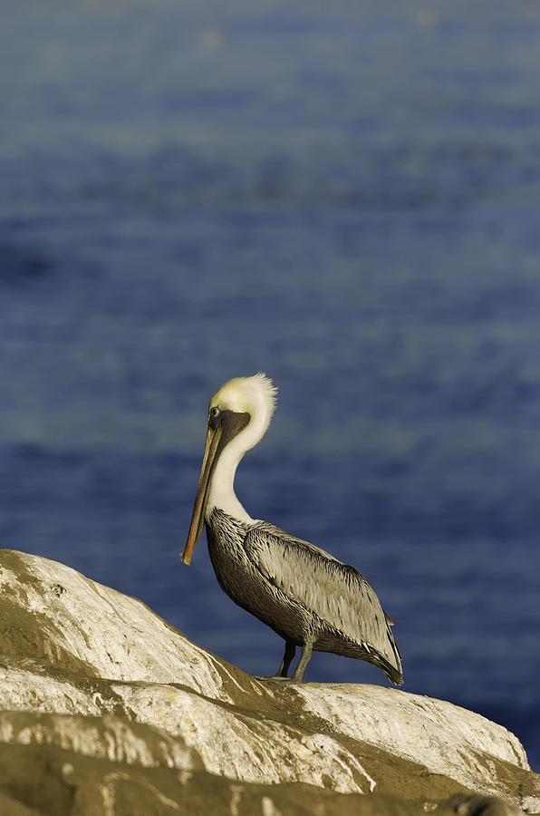 """#POTD for 01-20 """"Resting Pelican"""" http://sebastianmusial.com/featured/resting-pelican-sebastian-musial.html… #photography #photopic.twitter.com/QhvTa4jktw"""